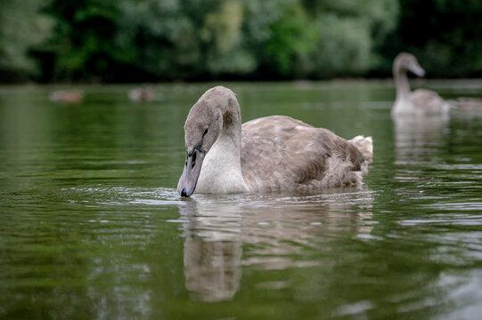 Juvenile mute cygnet swan