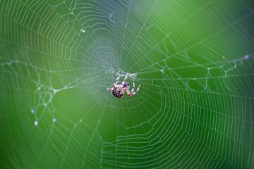 Pająk siedzący na pajęczynie na zielonym tle