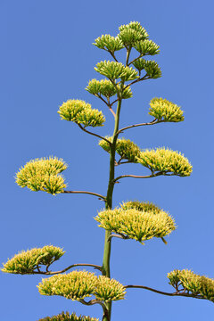 Close up of the yellow flower head of an agave against a blue sky in nature in Southern Europe