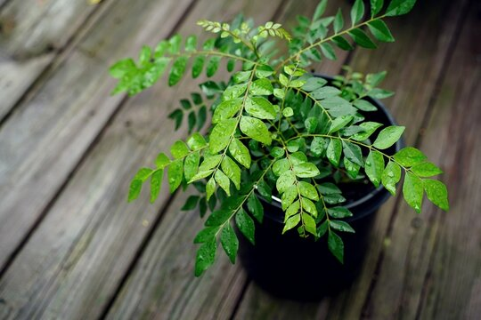 Curry leaves plant in a pot, selective focus
