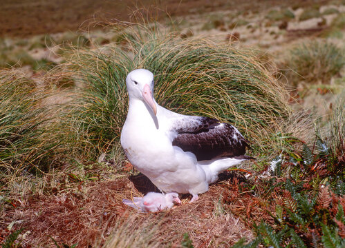 Royal Albatross with chick on Campbell island in the Southern Ocean south of New Zealand.