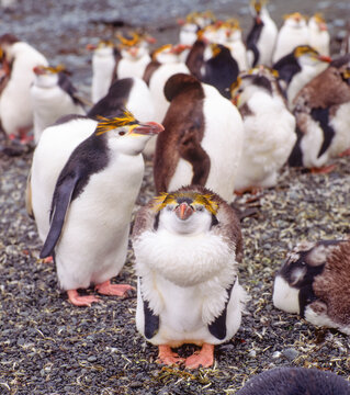 young royal penguins dropping their feathers Macquarie island Australia