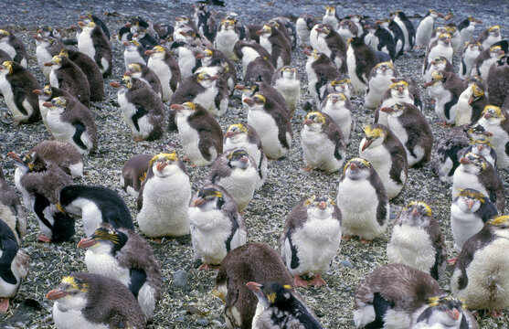 marine penguins young royal penguins dropping their feathers Macquarie island Australia