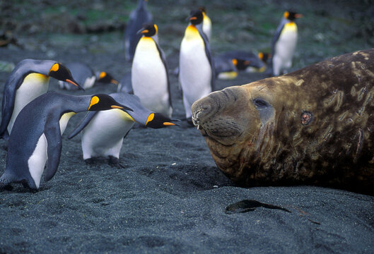 King Penguins checking out a huge elephant seal on Macquarie Island in the Southern Ocean..