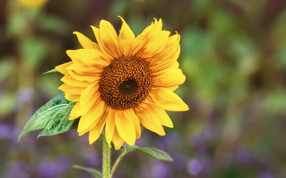 Beautiful yellow sunflower blooming on the meadow, closeup. Copy space.