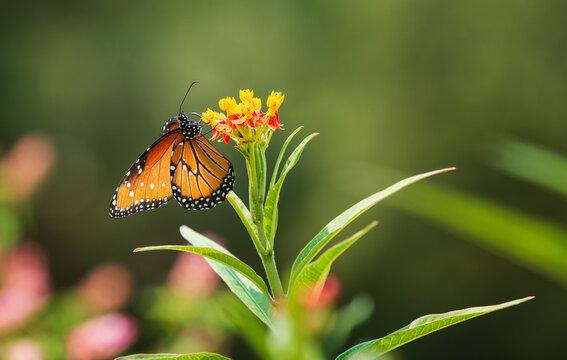 Queen butterfly (Danaus gilippus) feeding on Milkweed flowers in the garden.. Copy space.