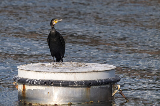 cormorant while resting on harbor buoy