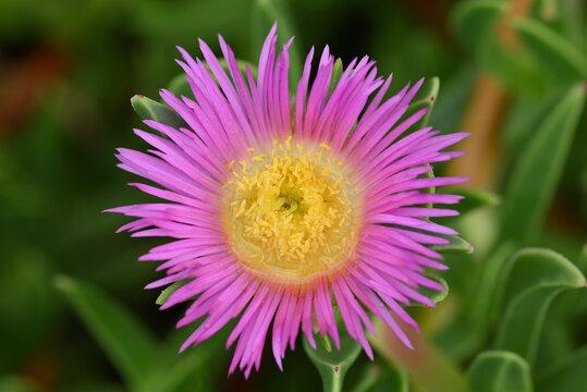 fleur de griffe de sorcière