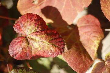 Fototapeta Liść czerwony jesienny  obraz