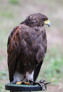 Big bird called Hawk of Harris or Peuco