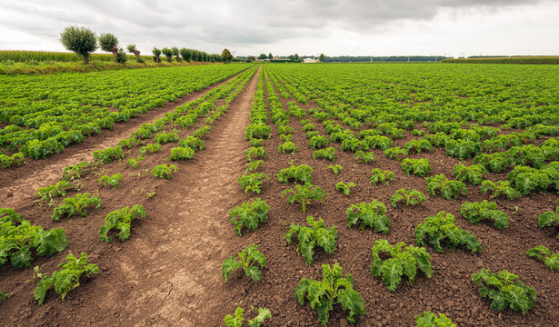 Large Dutch field with curly kale plants in long rows. It is a cloudy day in the summer season. The kale plants are still small and not fully grown.