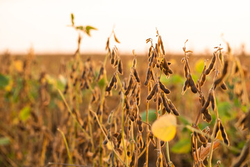 Fototapeta Soybean yellow ripe field at agricultural farm obraz