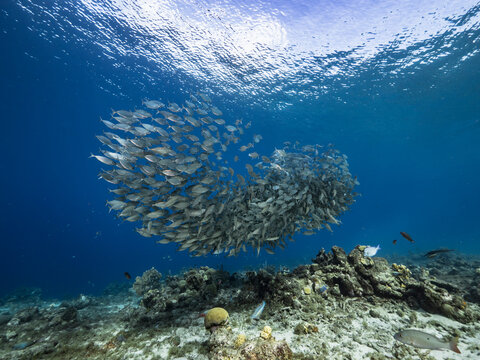 Seascape with Bait Ball, School of Fish in the turquoise water of coral reef in Caribbean Sea, Curacao