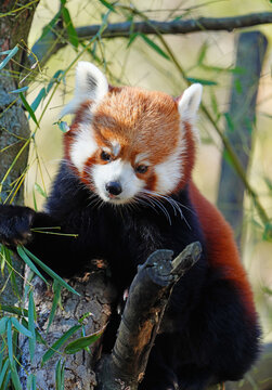 View of a Red Panda (Ailurus fulgens) in an outdoor park