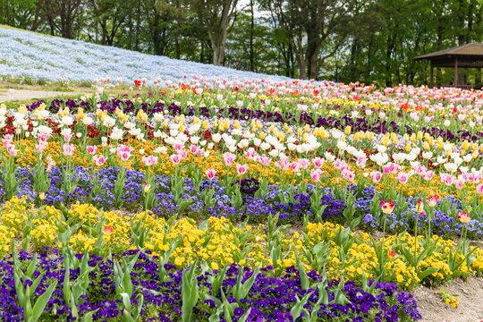 Colorful flowers in the field , kagawa, shikoku, japan