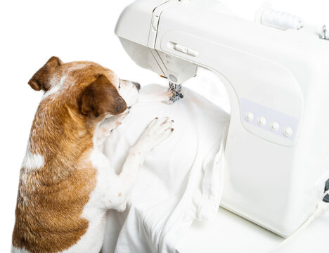Dog tailor sewing using machine. sews white T-shirt. Clothing designer tailor at work in  creative process of making clothes. White background. Back view. Horizontal photo. Hobby time professional