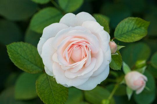 creme weiß rose Aspirin Makro