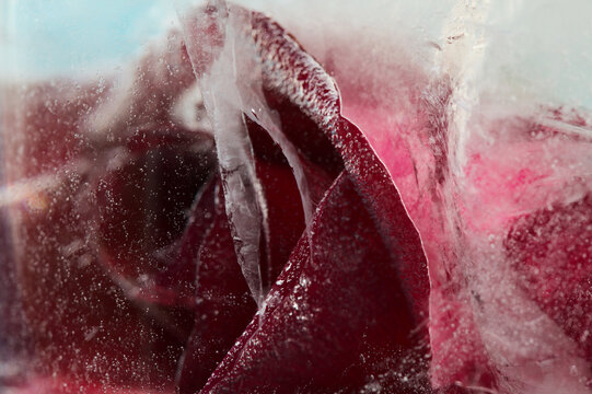 Dark Red rose flower frozen within a block of ice, air bubble texture