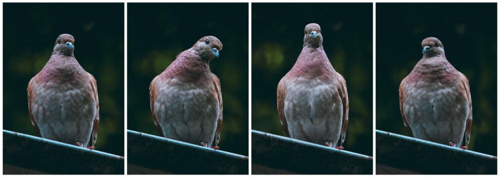Feral brown pigeons set on dark background. City birds