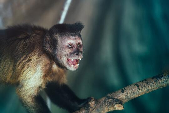 Cute monkey scream or shout. Monkey portrait.