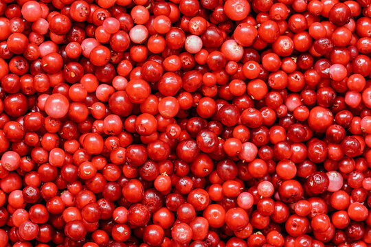 Pile of freshly harvested red wild cranberries, close-up detail from above