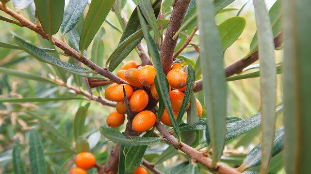branch of orange buckthorn berries