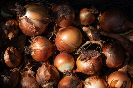 Freshly harvested organically grown onions