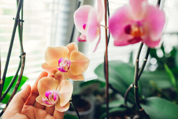 Woman enjoys orchid flowers on window sill. Girl taking care of home plants. Golden apple and Narnonne blooming