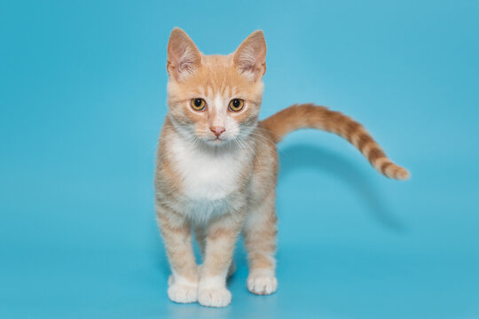 Small mongrel kitten of red color