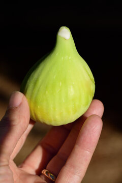 Against a dark background, a human hand holds a freshly picked green fig, from the top of which fresh milk comes out