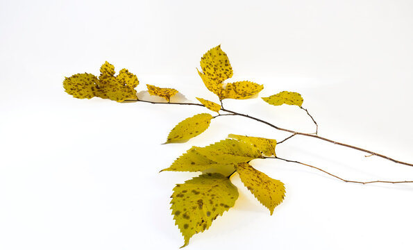 autumn branch with yellow leaves on a white background