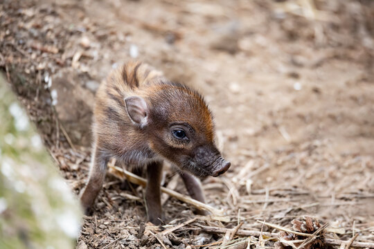 Small cute playful baby with lying mom sows of Visayan warty pig (Sus cebifrons) is a critically endangered species in the pig genus. It is endemic to Visayan Islands in the central Philippines
