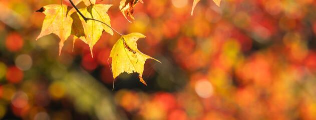 Mooie esdoornbladeren in de herfstseizoen.
