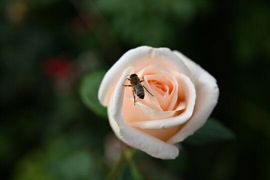 A bee drinks water on a cream-colored rose.