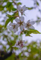 Obraz Kwiat wiszącej wiśni Sakura - fototapety do salonu