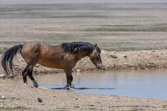 Wild Horse at a Desert Waterhole in Utah in Spring