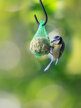 Eurasian blue tit (Cyanistes caeruleus)  hanging on bird food ball with different seeds in net and eating.