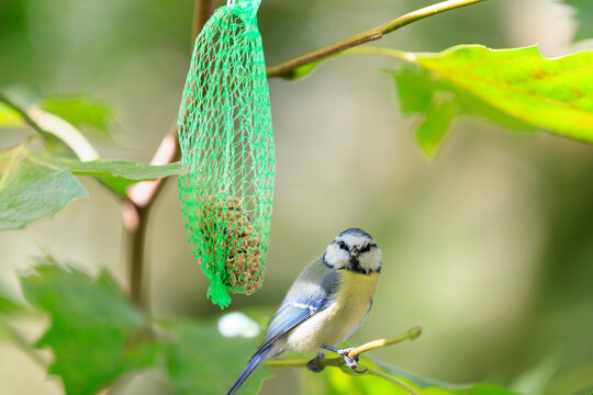 Eurasian blue tit (Cyanistes caeruleus) sitting on a branch of a sycamore tree, a bird food in net hangs next to it