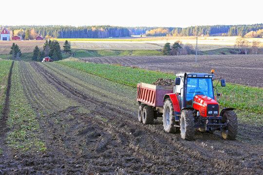 Tractors in Field Harvesting Sugar Beet, Beta Vulgaris, in Autumn