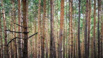 krajobraz; drzewa, las Wydmy Lucynowsko-Mostowieckie