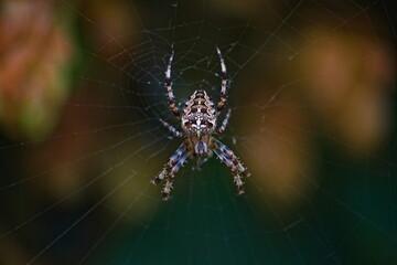 Pająk krzyżak w sieci . Sieć , pajęczyna .
