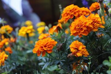 orange color flowers ingarden