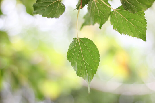 Mulberry leaves and branches with leaf bokeh in the background.