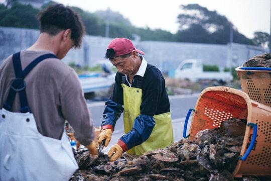 水揚げした帆立貝を洗浄選別する漁師