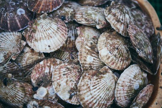 新鮮な帆立貝
