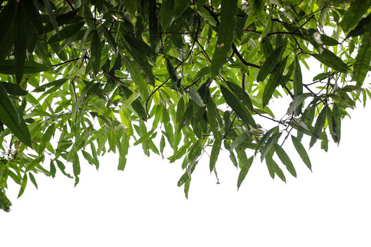 mango leaves and branches on a white background