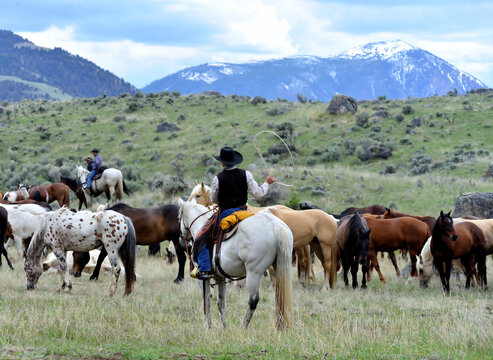 Cowboy in the saddle holding a lariat during a roundup of ranch horses in the mountains.