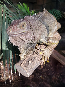 Green iguana also American iguana (in german Grüner Leguan) Iguana iguana
