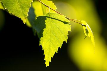 Fototapeta green birch leaves on the background of green nature obraz