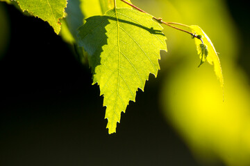 green birch leaves on the background of green nature